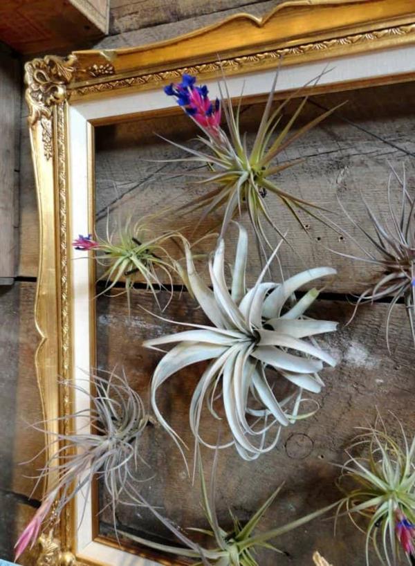 idée déco murale plante Tillandsia cadre de bois