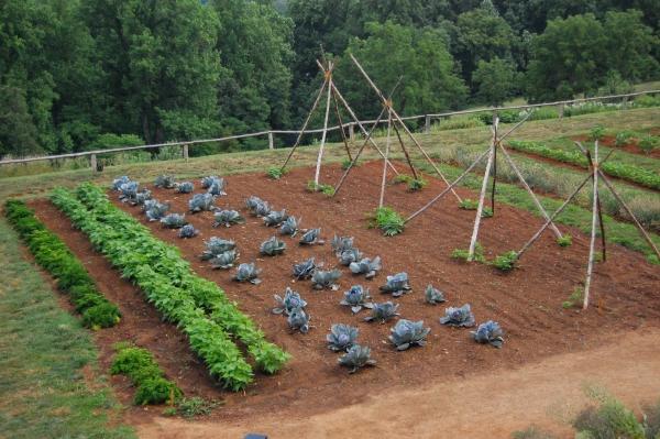 jardin potager carottes et haricots