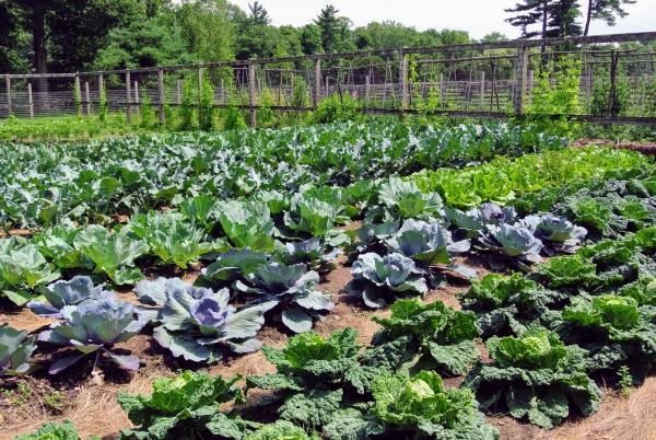 jardin potager du chou