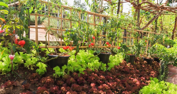 jardin potager en pots
