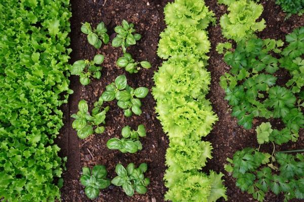 jardin potager salade frisée