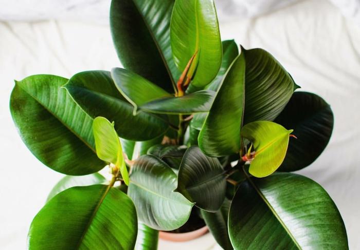 plante ficus elastica comment entretenir