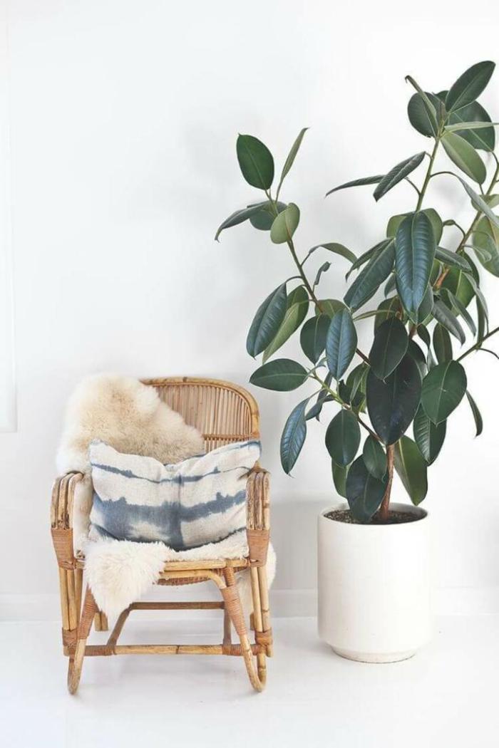 plante ficus elastica