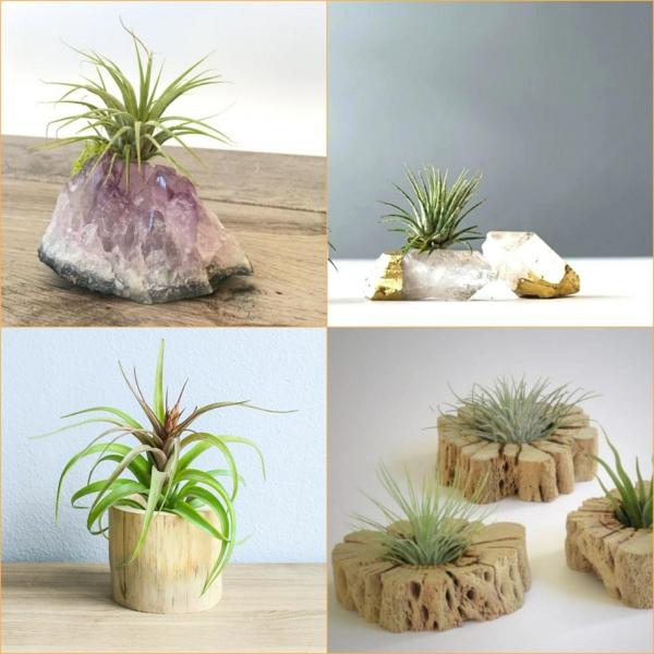 plantes Tillandsia sur un support de matériaux naturels