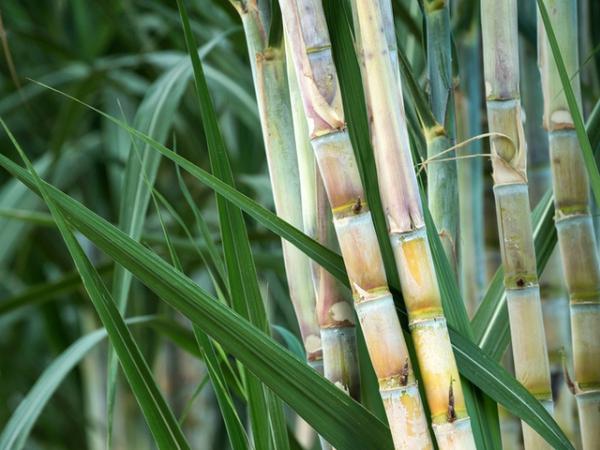 porte-bonheur bambou chez les peuples de l'Est