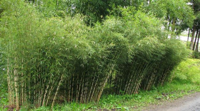 quand tailler la haie vive du bambou