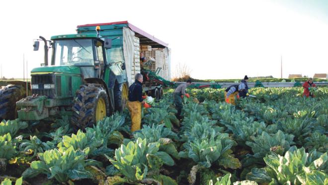 culture du chou-fleur avant la récolte