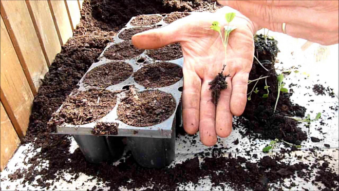 culture du chou-fleur des semis