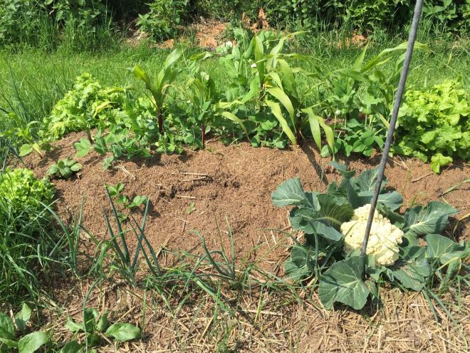 culture du chou-fleur oignon pour voisin