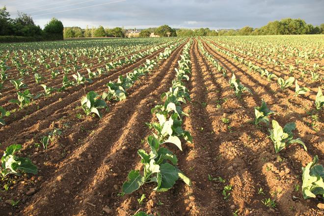 culture du chou-fleur une plantation