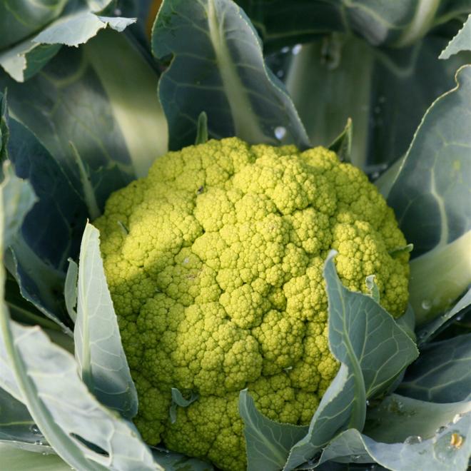 culture du chou-fleur variété verte