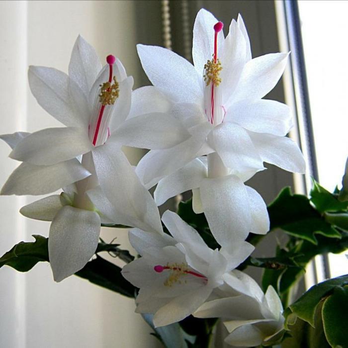 fleurs blanches schlumbergera