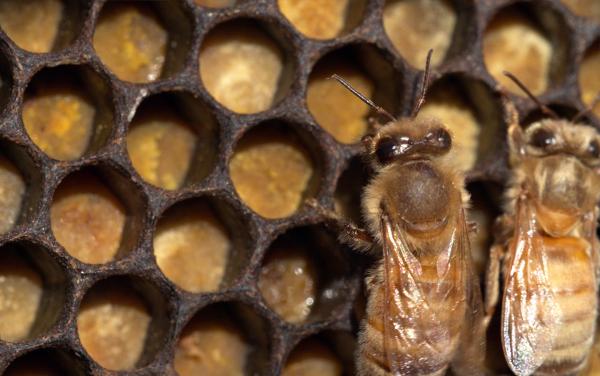les abeilles le travail des ouvrières