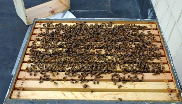 les abeilles mort d'abeilles