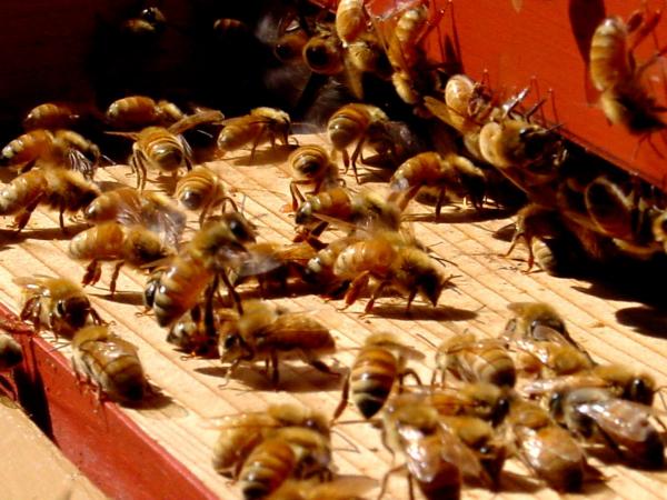 les abeilles nourrissement en août