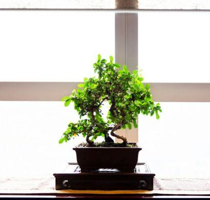 plante feng shui