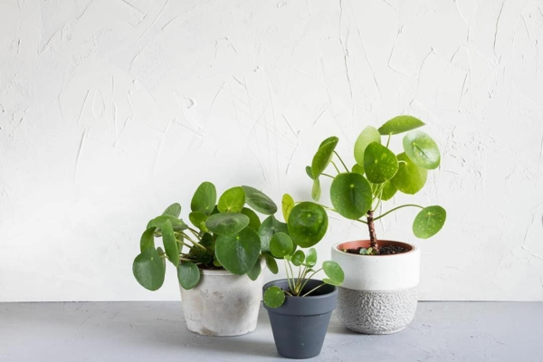 plante feng shui porteuse d'énergie positive Pilea peperomioides