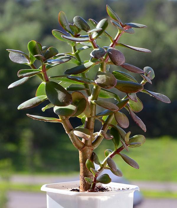plante feng shui porteuse d'énergie positive arbre de jade