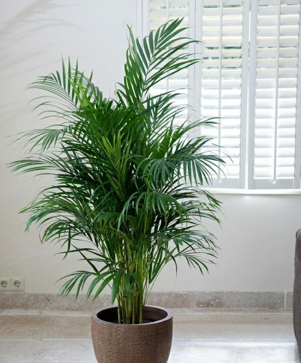plante feng shui porteuse d'énergie positive palmier areca