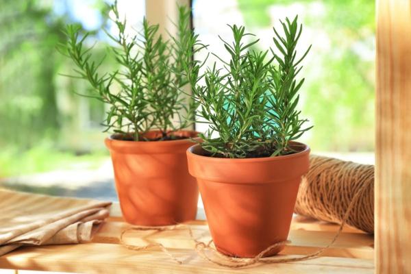 plante feng shui porteuse d'énergie positive romarin
