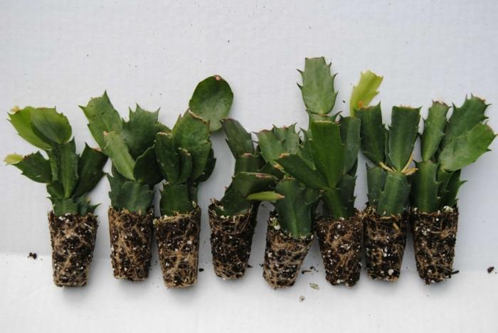 plante schlumbergera multiplication