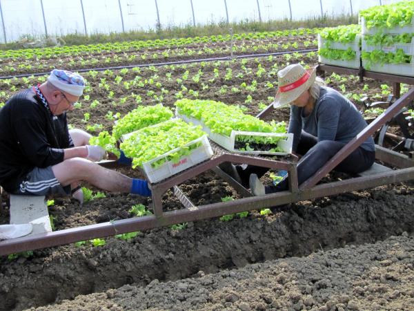 planter les salades à la main