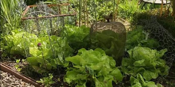 planter les salades ça pousse