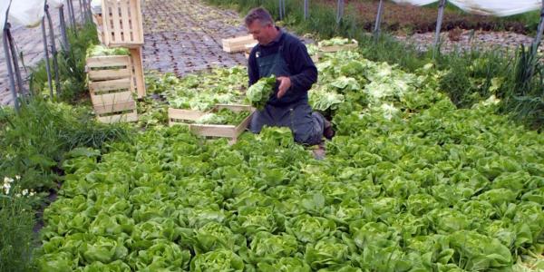 planter les salades cueillir les salades