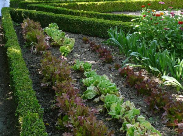 planter les salades dans le jardin