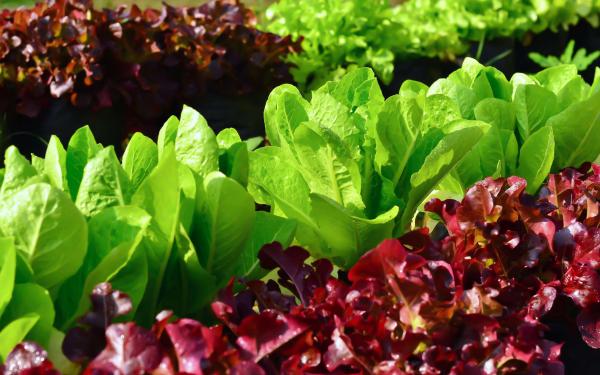planter les salades du type rouge