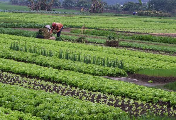 planter les salades grande production