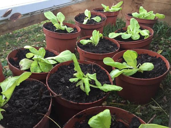 planter les salades jeunes plantes