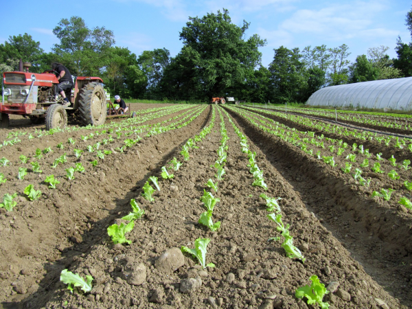 planter les salades larges plates-bandes