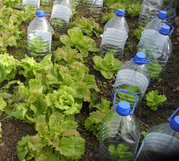 planter les salades sous des cloches