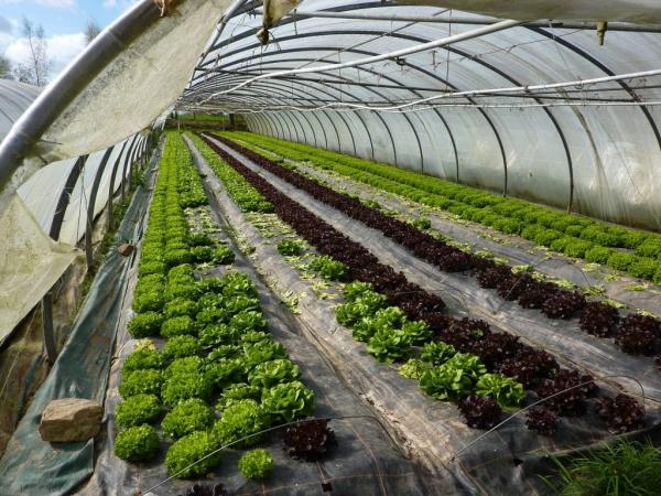 planter les salades sous la serre