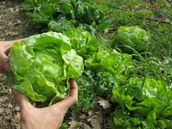 planter les salades une tête formée