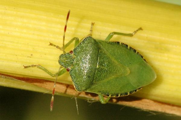 punaise diabolique et verte au dos vert