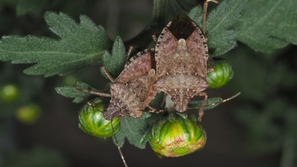 punaise diabolique et verte sur les fleurs