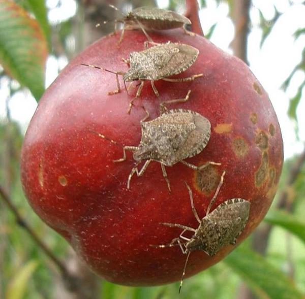 punaise diabolique et verteun trou dans la pomme