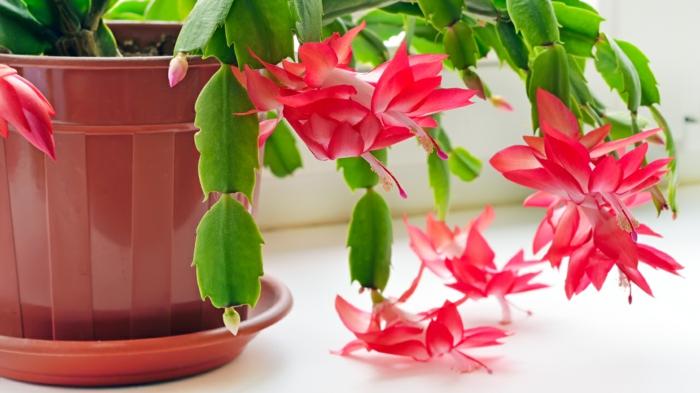 schlumbergera cactus de noël