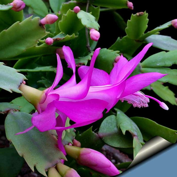 schlumbergera fleurs en mauve
