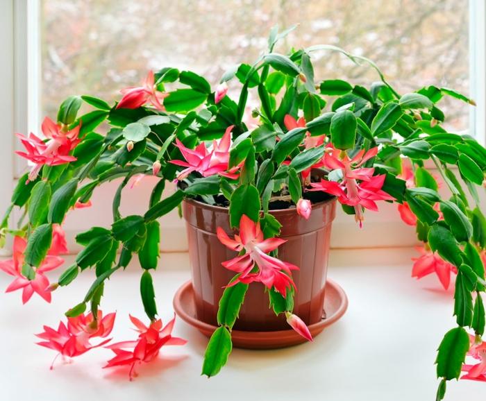 schlumbergera fleurs en rose