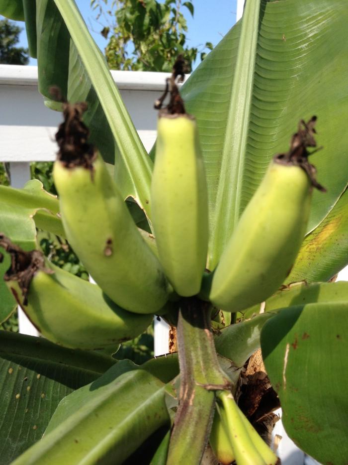 planter banane en période de mûrissement