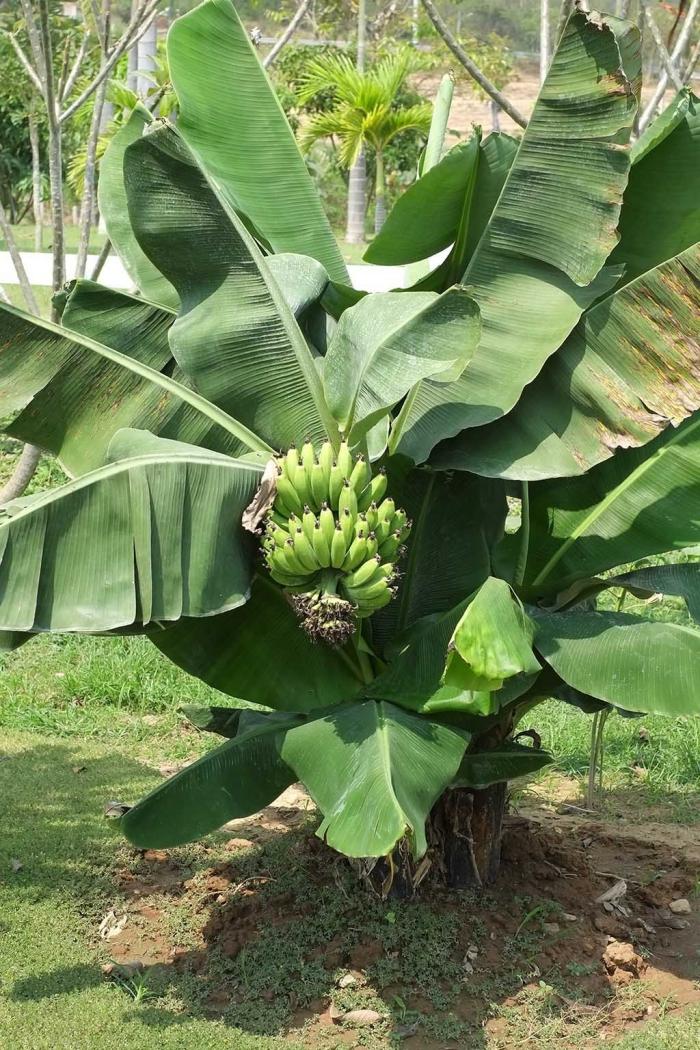 planter banane grande envergure des feuilles