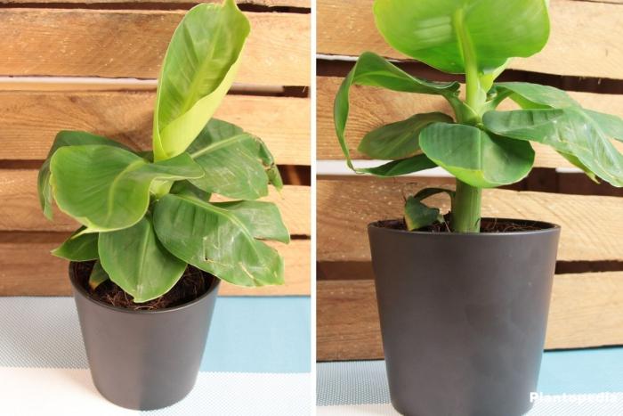 planter banane dans un pot