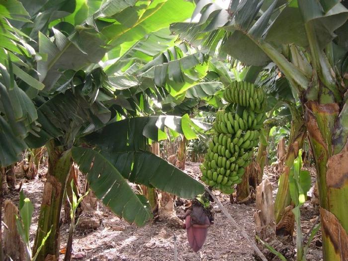 planter banane des bananiers