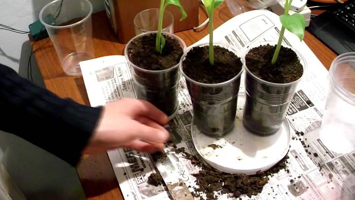 planter banane des pots en plastique