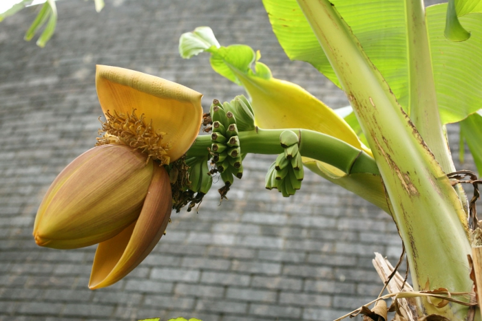 planter banane en floraison
