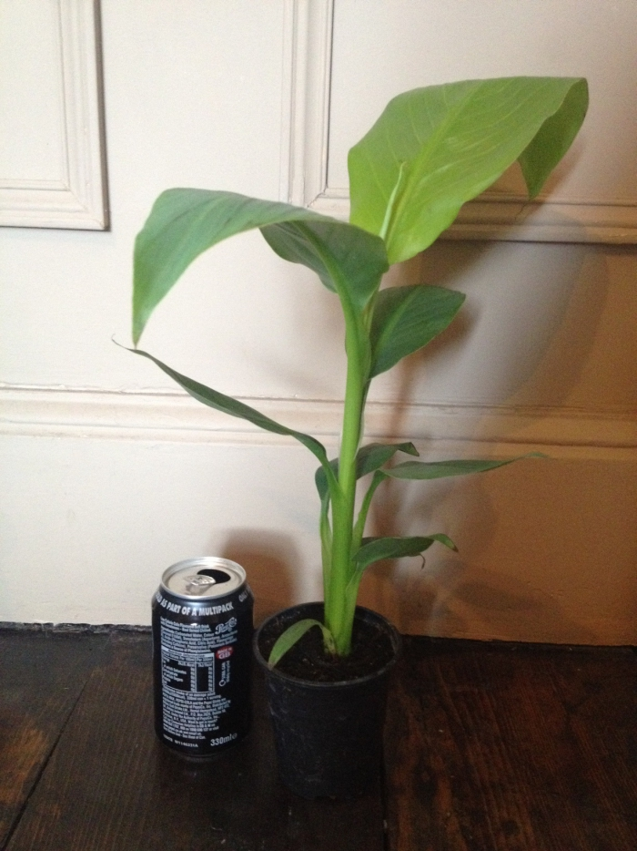 planter banane en pot