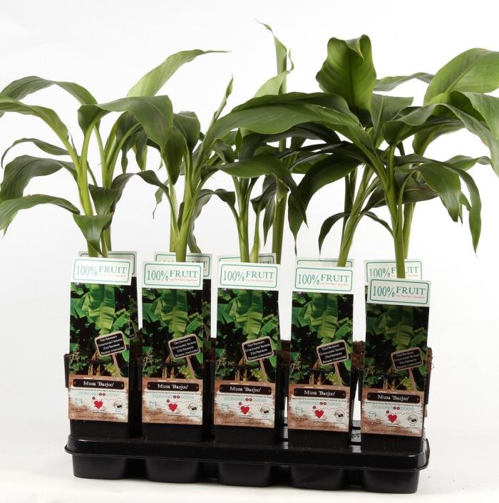 planter banane prête à empoter